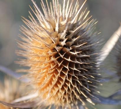 spiky field plant dipsacus laciniatus cut leaved teasel