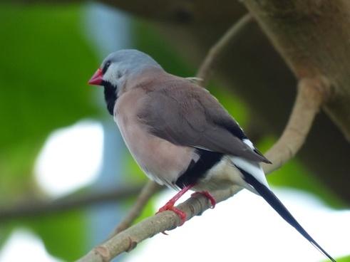 spitzschwanzamadine bird poephila acuticauda