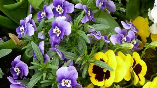 spring colorful violaceae