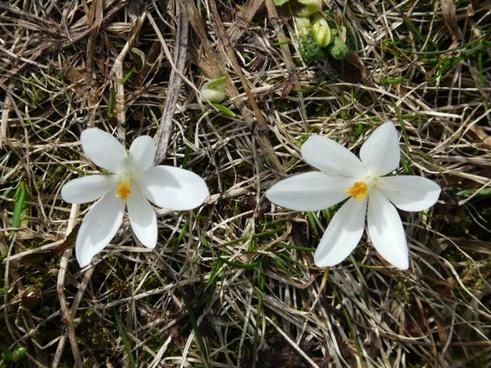 spring crocus crocus white