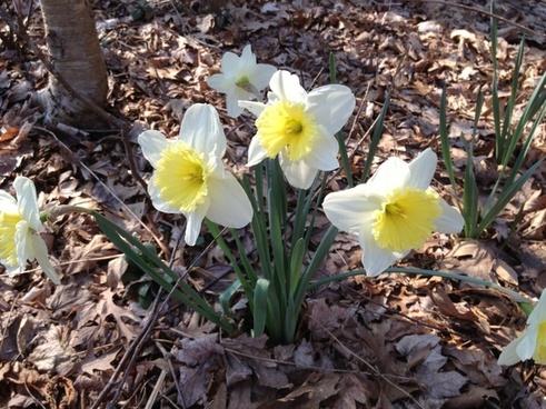 spring daffodils flower