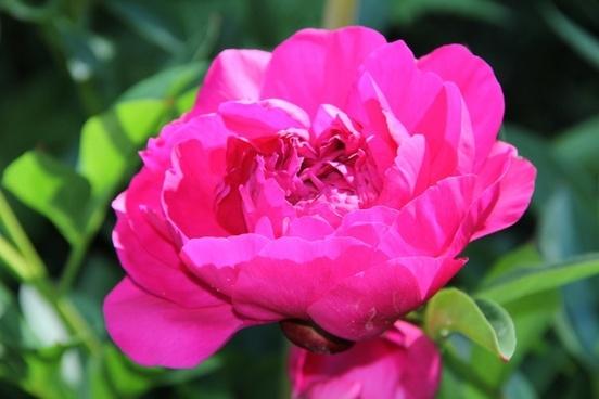 spring flower peony