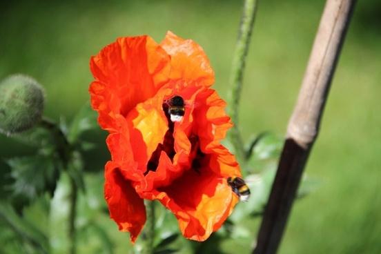 spring flower poppy