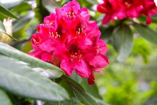 spring flower red rhododendron
