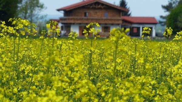 spring oilseed rape lewat