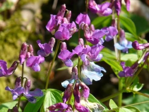 spring pea fabaceae plant