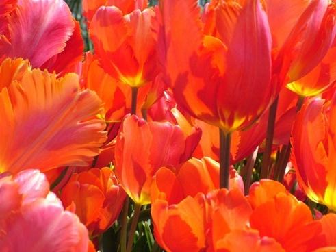 spring tulips flower