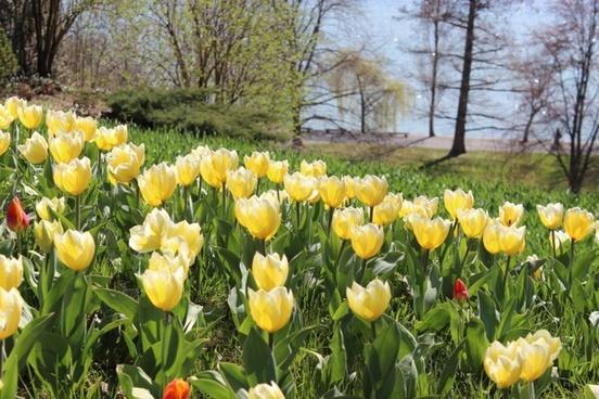 spring tulips yellow