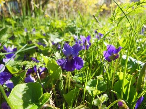 spring violets sunny weather