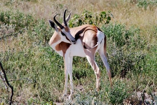 springbok animal africa