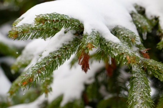spruce branches covered in snow