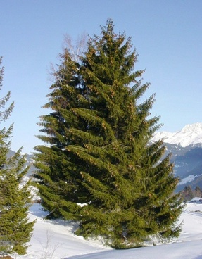 spruce conifer christmas tree