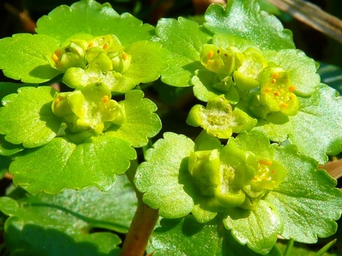 spurge family green flower