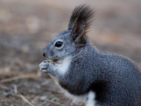 squirrel animal closeup