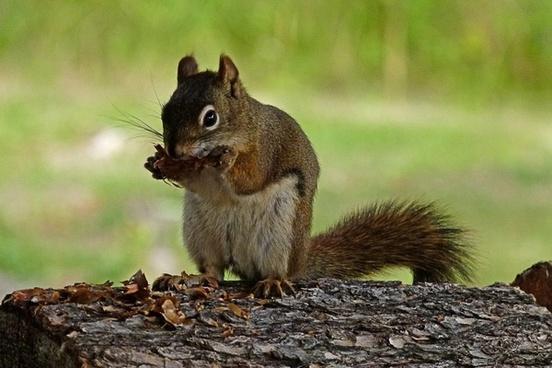 squirrel animal nature