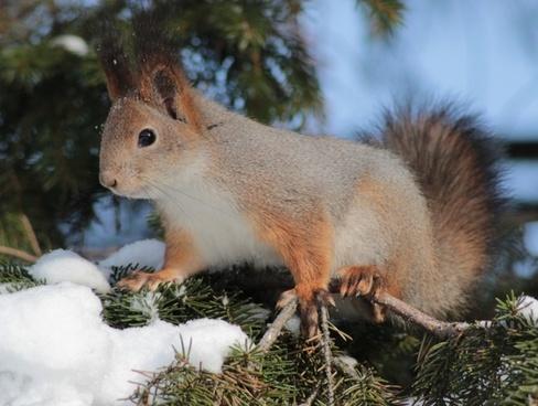squirrel red cute