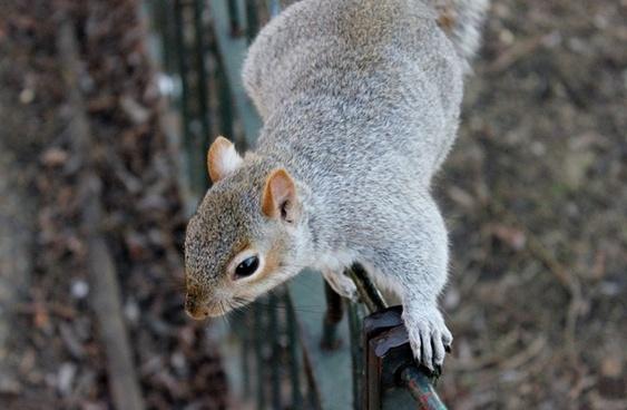 squirrel squirrels wildlife