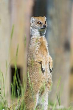 standing yellow mongoose