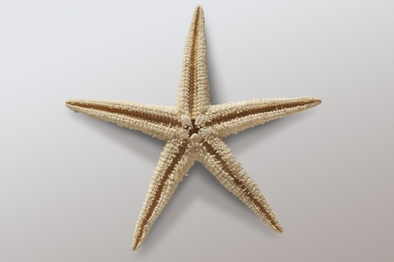 starfish asteroidea echinoderms sea