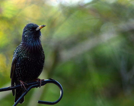 starling muttering to close by friends