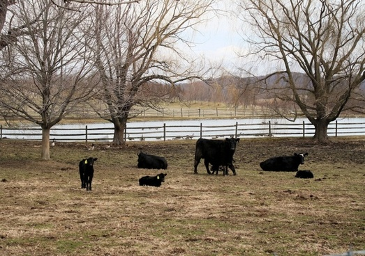 steer and calves
