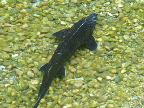 sterlet fish acipenser ruthenus
