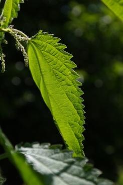 stinging nettle leaves burning hair