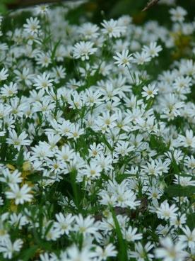stitchwort chickweed carnation family
