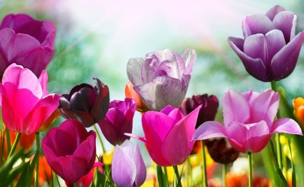 stock photo of tulips 01 hd picture