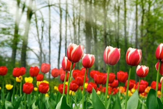 stock photo of tulips 02 hd pictures