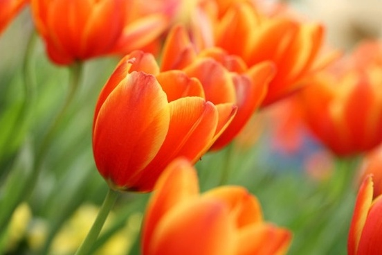 stock photo of tulips 04 hd pictures