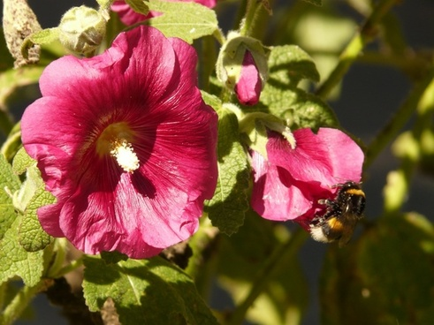 stock rose alcea rosea althaea rosea