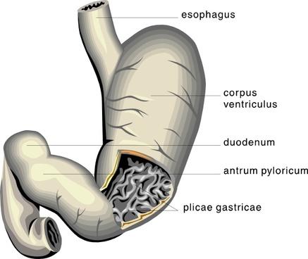 Stomach Medical Diagram clip art