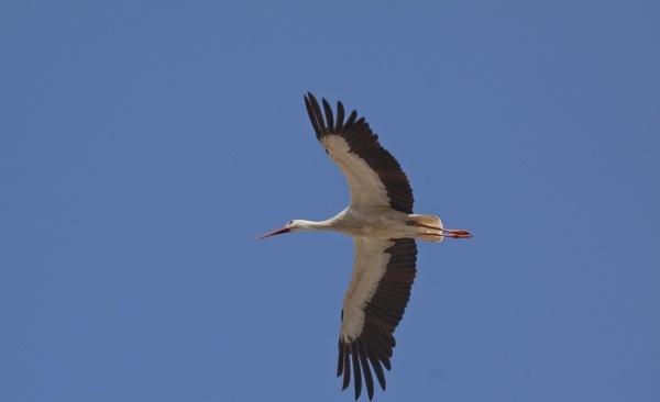 stork bird white stork