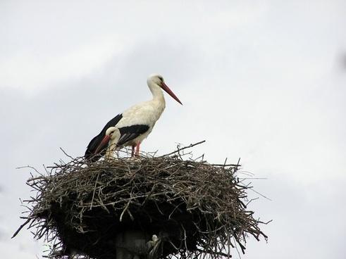 stork nest birds