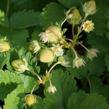strawberry raw materials green