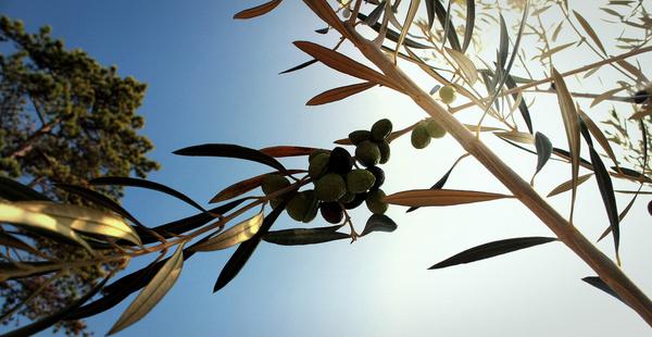 street olive tree torquay