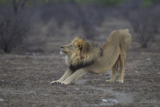 stretching lion
