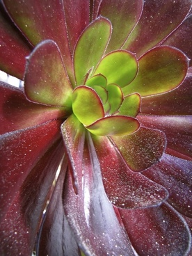 succulent red and green leaves plant