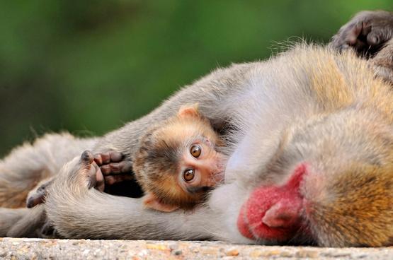suckling baby macaque