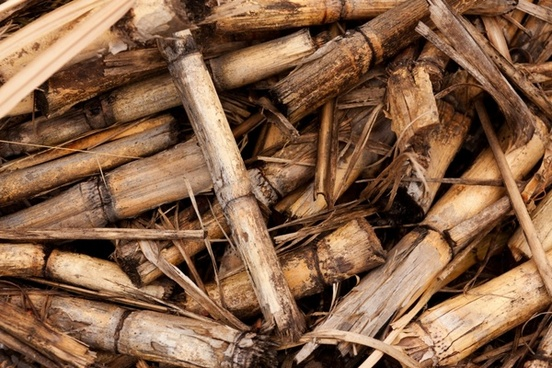 sugarcane stems