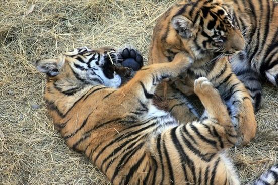 sumatran tiger cubs
