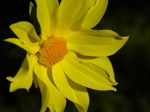 summer dahlia yellow