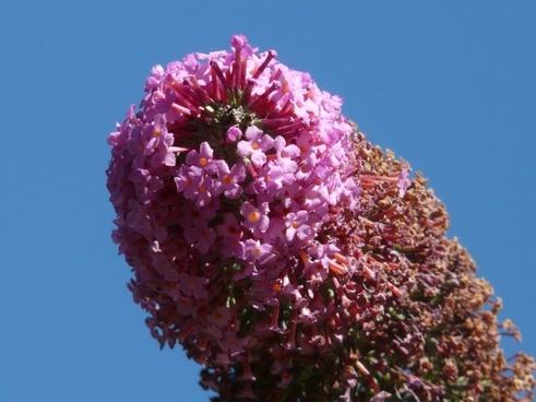 summer lilac buddleja davidii bush