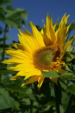 summer sun flower plant