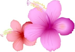 hibiscus flowers vector design on white background