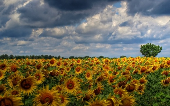 sun flower field clouds