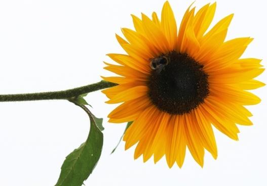 sun flower flower nature