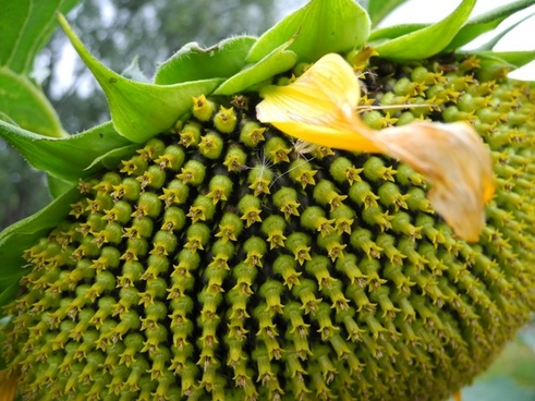 sun flower flower plant