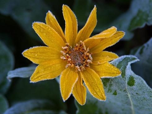 sun flower frost ice
